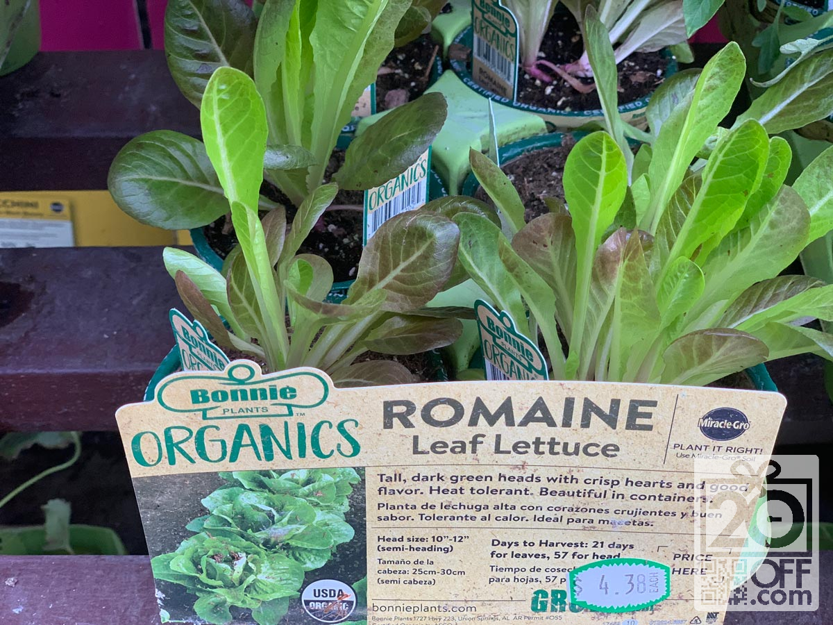 Grow Lettuce During Pandemic